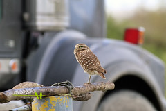 Burrowing Owl (elaiphoto) Tags: burrowingowl richmond wild birds elaiphoto