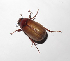 Melolonthinae; 20170424; PA-Colón-Gamboa (plantpollinator) Tags: insect coleoptera scarabaeidae melolonthinae