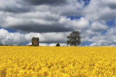 Golden (Martyn.Smith.) Tags: landscape canola field harvest seedoilrape sky countryside crops vista yellow golden wales rogiet uk flickr image photo rapeseed