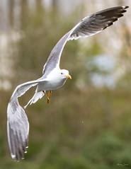 Lesser black backed gull (Shane Jones) Tags: lesserblackbackedgull gull seabird bird birdinflight wildlife nature nikon d500 200400vr tc14eii