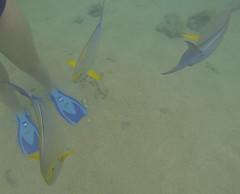 Hanauma-03 (jebigler) Tags: oahu hawaii2017 hanaumabay yellowfinsurgeonfish unitedstates hawaii honolulu 7455kalanianaolehighway