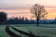 Lieblingsbaum (webpinsel) Tags: felder frühmorgens frühling halternamsee hullern hullernersee landschaft natur