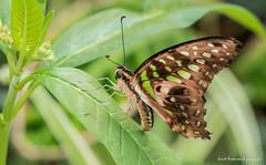 JM foto75-131 (janetankersmit) Tags: 2017 vlinders vlindertuin zutphen