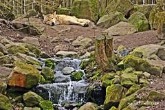 LyingWolf (MonaKPhotography) Tags: lying wolf outdoor waterfall relaxing wildlife wildanimal