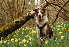 11/52 Daffodils (meg price) Tags: 52weeksfordogs flynn bordercollie dog daffodils flowers spring nature uk