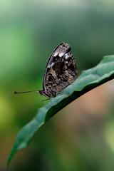 Papillons en Liberté 2017 - Photo 39 (Le Chibouki frustré) Tags: nikon nikond700 d700 700 fx fullframe montréal montreal homa hochelagamaisonneuve macro macrophotographie botanicalgarden jardinbotanique jardinbotaniquedemontréal montrealbotanicalgarden butterfly insect insects bokeh dof pdc papillonsenliberté2017 butterfliesgofree2017 closeuplens closeupfilter