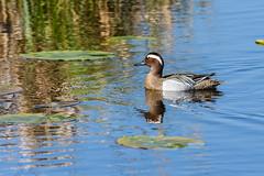 Voorjaar - Spring (Frans in de Natuur) Tags: deonlanden duck eend