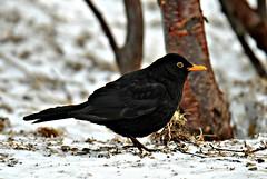 svarttrost (turdus merdula) (KvikneFoto) Tags: fugl bird natur vinter winter snø snow tamron nikon bokeh