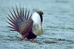 Greater sage-grouse (Centrocercus urophasianus) male (rangerbatt) Tags: