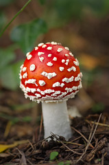 Fly Amanita at Mona Vale (Yani Dubin) Tags: gimp fungus brown white mushroom muscaria nature darktable moss christchurch amanita color bokeh monavale autumn tokinaaf100mmf28macro fungi macro green colour gold plant canterbury newzealand red d7000 bokehlicious flyamanita macrophotography flyagaric
