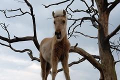 Foal (Marit Derks) Tags: foal veulen outdoors paard horse horses veluwe posbank