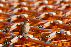 Dove and shopping trolleys (Jan van der Wolf) Tags: map13959v dove dof depthoffield scherptediepte winkelwagens trolleys shoptrolleys herhaling repetition rhythm visualrhythm orange oranje bird vogel shopping winkelwagentjes