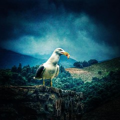 Je vagabonde le long des côtes,je suis le Goéland Marin.  #bird #gull #sea #nature #beach #iphone7plus #snapseed (Lexlutin66) Tags: instagramapp square squareformat iphoneography uploaded:by=instagram lofi