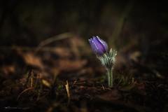 sasanka (figoosia) Tags: sasanka kwiat podlasie puszcza knyszyńska wiosna las