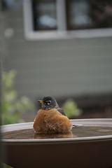 Splish splash, taking a bath (Let Ideas Compete) Tags: bird robin bathe bathing water basin birdbath wet backyard redbreasted