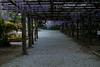 DSC_1689 (sayo-tsu) Tags: 埼玉県 春日部市 kasukabe saitama wisteria 藤 特別天然記念物 牛島のフジ