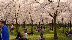 Spring Has Arrived (kampvuur) Tags: cherryblossom kersenbloesem 荷蘭 springhasarrived amsterdamsebos holland amstelveen 櫻花 japansebloesempark