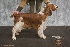 Graduate Bitch - Ambika Tranquil Spirit for Benmorbry (evinrisca) Tags: welshspringerspaniel wales chepstow championship dogshow welshie spaniel champshow