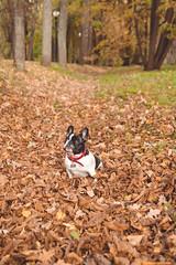 IMG_3159 (Anastasia Neto) Tags: dog dogphotography dogs dogmodel dogphotographer puppies puppy cutepuppies cutepuppy funnydog funnydogs petmodel petphotography pet pets petphotographer frenchie frenchies frenchbulldog frenchbulldogs bulldog bulldogs