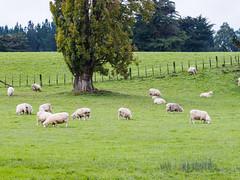 P4170398-Edit (pbbeck) Tags: travel cheltenham manawatuwanganui newzealand nz