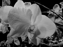 Casa Loma (quirkyjazz) Tags: toronto citypass touristsite ontario canada castle orchids pottingshed indoor greenhouse
