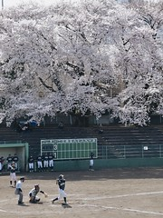 Under cherry blossoms 2017 (kurotango Clip) Tags: sakura cherry japan machida tokyo baseball cherryblossoms