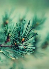 green Coniferous pin branch (♥Oxygen♥) Tags: background botanical closeup conifer coniferous decoration decorative fir flora forest green nature season beauty botany branch bright cone detail fresh natural needle new outdoor pine pins plant shoot spring sprout spruce texture tree wood young pines trees evergreen pin cold needles twigs seasonal festive xmas spruces details macro
