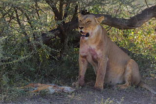 Lioness with Jackal