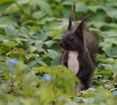 Eichhörnchen.... (peterphot) Tags: naturgarten tiere wildanimals eichhörnchen tamron600 sonyslt sachsen april