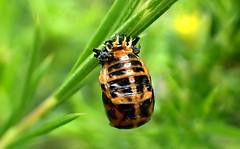 Almost a LADYBIRD (Lani Elliott) Tags: lanielliott lani elliottlani nature naturephotography insect ladybird ladybirdlarva upclose closeup macro bokeh green homegarden macrounlimited