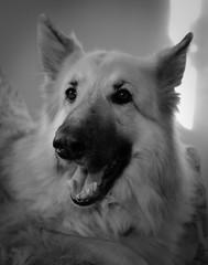Lola (juanmartinez81) Tags: dog dogs germanshepherd germanshepherddog alsatian pets petportrait mono monochrome blackandwhite bw