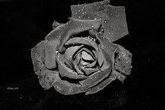 Black Rose (traptiantiwary) Tags: flower rose monotone waterdrops canon canoneos