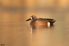 Blue-winged-teal (Corey Hayes) Tags: blue winged teal duck waterfowl nature art first light spring