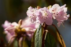 Rhododendron (Ernst_P.) Tags: aut botanischergarten innsbruck österreich tirol pflanze blume blüte frühling rhododendron samyang walimex 135mm