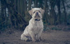 Dog-9197 (EB_Creation) Tags: dog dof bokeh depthoffield d7100 dx white shihtzucentral shih 50mm 500mmf18 2017 camera lens digital
