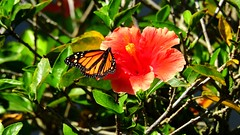 Monarch (Jim Mullhaupt) Tags: butterfly insect wildlife nature landscape background wallpaper outdoor bradenton florida nikon coolpix p900 jimmullhaupt orange black whitespots photo flickr geographic picture pictures camera snapshot photography nikoncoolpixp900 nikonp900 coolpixp900 redhibiscus flower hibiscus red monarch danausplexippus