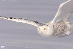 ''Souvenir!'' Harfang des neige-Snowy owl (pascaleforest) Tags: hibou owl quebec canada passion nikon nature wild widlife oiseau bird prédateur predator faune fauna hiver winter snow neige jaune yellow