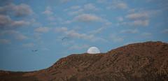 How Far Have You Been (Keith Midson) Tags: mtwellington kunanyi moon moonset moonsetting clouds sky birds bird flying mountain hobart tasmania australia
