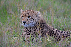 What are you doing in 2018? How about a Kenya Safari? Now is the time to sign up for this amazing trip of a lifetime. Young Cheetah - 1320b+ (teagden) Tags: cheetah youngcheetah bigcat predator jenniferhall jenhall jenhallphotography jenhallwildlifephotography wildlifephotography wildlife nature naturephotography photography nikon wild dkgrandsafaris safari safarisunday kenyasafari africasafari africansafari masai mara masaimara masaimarakenya savannah kenya kenyawildlife kenyaafrica kenyaplains africa africanwildlife african africanphotography africansavannah