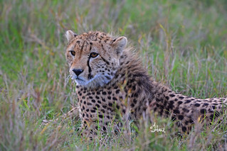 What are you doing in 2018? How about a Kenya Safari? Now is the time to sign up for this amazing trip of a lifetime. Young Cheetah - 1320b+