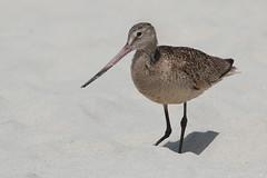 Beach life (Andrew_Leggett) Tags: marbledgodwit limosafedoa wader shorebird beach sand bird nature wildlife 17miledrive monterey andrewleggett