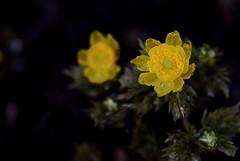 flower 1117 (kaifudo) Tags: sapporo hokkaido japan flower amuradonis 札幌 札幌市 北海道 フクジュソウ 福寿草 nikon d810 sigmaapomacro150mmf28 sigma 150mm macro spring