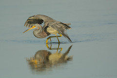 Perfect balance (ChicagoBob46) Tags: tricoloredheron heron bird florida nature wildlife bunchebeach ngc npc