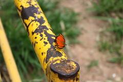 Borboleta bairro São João JM - Wir Caetano - 26 04 2017 (4) (dabliê texto imagem - Comunicação Visual e Jorn) Tags: borboleta inseto amarelo escada ferrugem