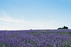 Lavender field (mqnrl) Tags: japan hokkaido asia lavender field nature scenic landscape