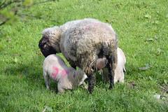 breakfast (Lord Edam) Tags: river afon llugwy conwy wildlife morning water rocks fields sheep lambs