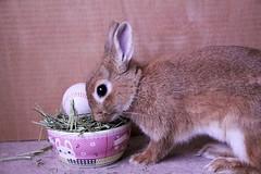 Ichigo san 665 (Ichigo Miyama) Tags: いちごさん。うさぎ ichigo san rabbit bunny netherland dwarf brown ネザーランドドワーフ ペット いちご うさぎ