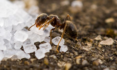 Week 15 Hold (TP DK) Tags: ant concrete grain macro mighty mound pile strong sugar tiny