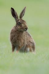 European/Brown Hare ( Lepus europaeus). (dave.mcculley) Tags: europeanhare brownhare hare fur ears eyes grass dof mammal nature outdoors wildlife wild rutlandwater cannon 500mm 7dmkii