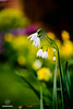 Snowdrops (w.mekwi photography [here & there]) Tags: bokeh plant macro nature flower spring closeup snowdrops stem yellow depthoffield